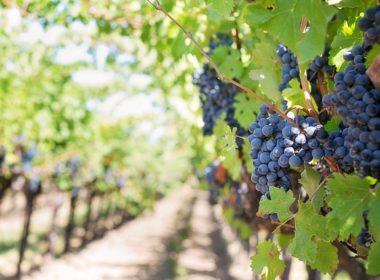 vigne avec raisin rouge